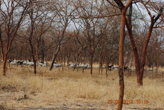 Sheep grazing in natural Acacia balanites forest